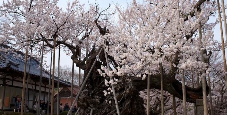 神代桜2013
